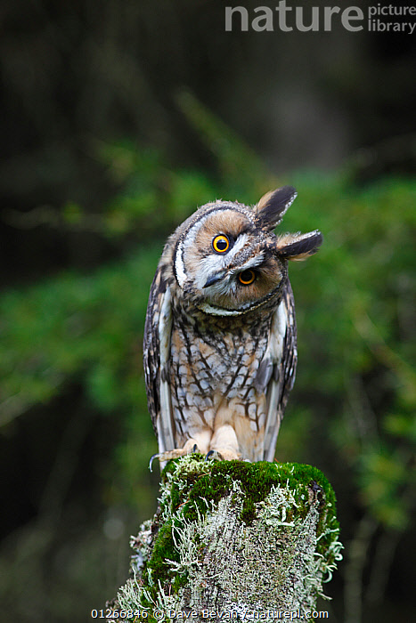 Long eared owl (Asio otus) perched on fence post, head cocked on one side, Wales, UK, captive  ,  animal head,animals in the wild,BIRDS,BIRDS OF PREY,captive,CATALOGUE2,close up,CLOSE UPS,curiosity,EUROPE,EXPRESSIONS,FACES,front view,full length,HEADS,HUMOROUS,humour,LICHEN,nature,Nobody,one animal,outdoors,OWLS,Perching,STANDING,surprise,UK,VERTEBRATES,VERTICAL,WALES,WILDLIFE,Concepts,United Kingdom,Raptor  ,  Dave Bevan