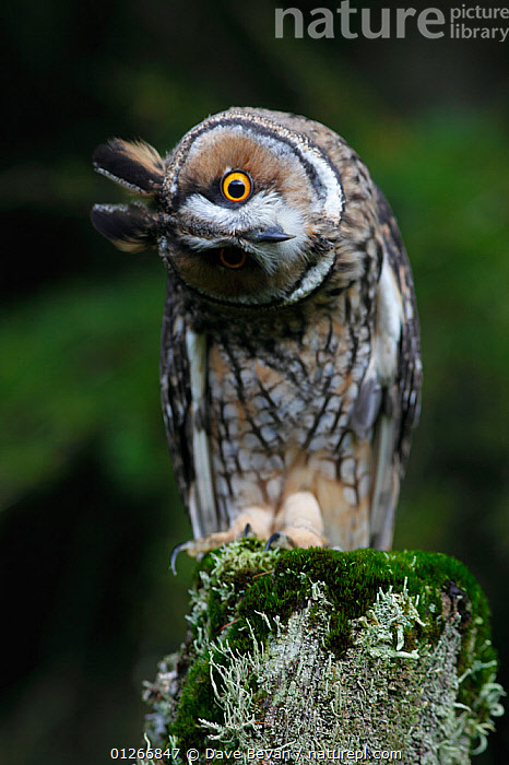 Long eared owl (Asio otus) perched on fence post, head cocked on one side, Wales, UK, captive  ,  BEHAVIOUR,BIRDS,BIRDS OF PREY,EUROPE,EXPRESSIONS,FACES,HUMOROUS,OWLS,UK,VERTEBRATES,VERTICAL,WALES,Concepts, United Kingdom,Raptor, United Kingdom  ,  Dave Bevan