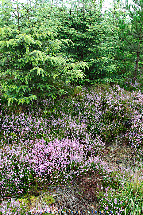 Conifer plantation takes over heather moorland, Wales, UK, August 2009  ,  CONIFEROUS,EUROPE,FLOWERS,HABITAT LOSS,HEATHERS,LANDSCAPES,MOORLAND,PLANTATIONS,UK,VERTICAL,WALES, United Kingdom  ,  Dave Bevan