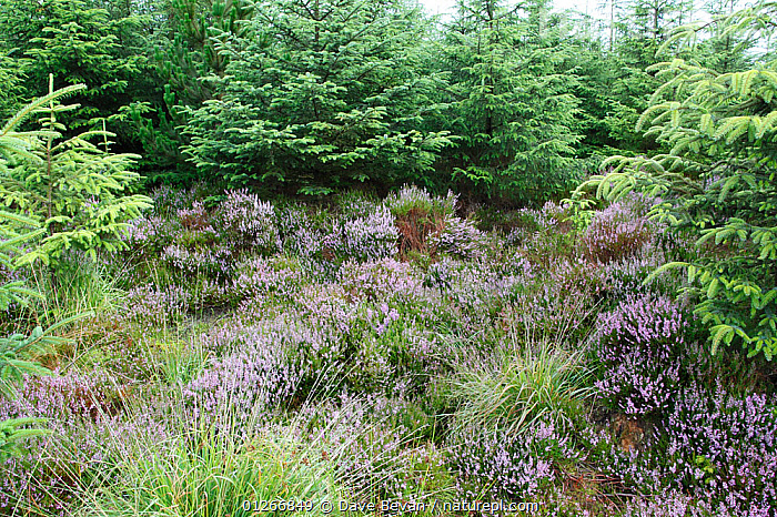 Conifer plantation takes over heather moorland, Wales, UK, August 2009  ,  CONIFEROUS,EUROPE,FLOWERS,HABITAT LOSS,HEATHERS,LANDSCAPES,MOORLAND,PLANTATIONS,UK,WALES, United Kingdom  ,  Dave Bevan