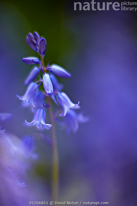 Bluebell flower (Hyacinthoides non-scripta) Dorset, England, UK  ,  ARTY-SHOTS, BLUE, Blurred, EUROPE, FLOWERS, LILIACEAE, MONOCOTYLEDONS, PLANTS, PORTRAITS, soft focus, UK, VERTICAL,United Kingdom  ,  David Noton