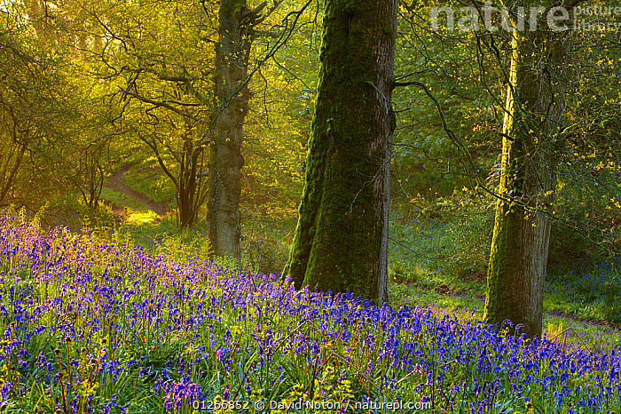First light at dawn in the Bluebell woods at Batcombe, Dorset, England, UK  ,  BEECH,ENDYMION NONSCRIPTUS,EUROPE,FLOWERS,LANDSCAPES,SPRING,TREES,TRUNKS,UK,WOODLANDS,PLANTS, United Kingdom  ,  David Noton