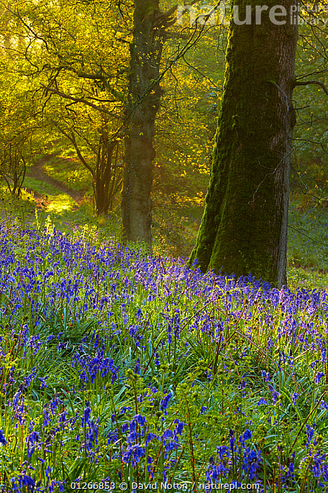 First light at dawn in the Bluebell woods at Batcombe, Dorset, England, UK  ,  BEECH,ENDYMION NONSCRIPTUS,EUROPE,FLOWERS,LANDSCAPES,SPRING,TREES,UK,VERTICAL,WOODLANDS,PLANTS, United Kingdom  ,  David Noton