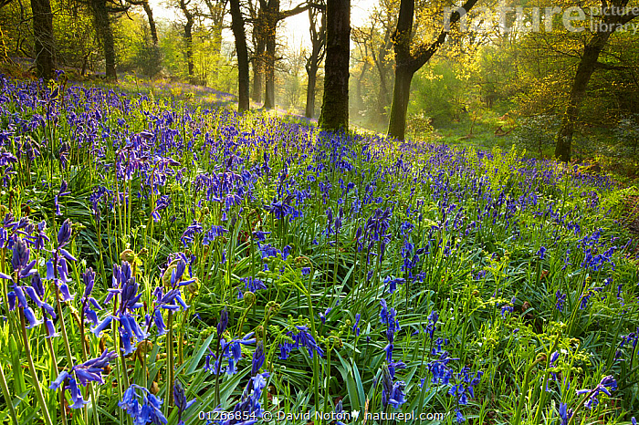 Bluebells flowering in the woods at Batcombe, Dorset, England, UK  ,  BEECH,BLUEBELLS,ENDYMION NONSCRIPTUS,EUROPE,FLOWERS,LANDSCAPES,SPRING,UK,WOODLANDS, United Kingdom  ,  David Noton
