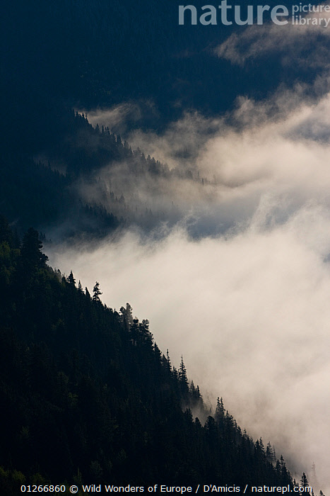 Clouds rising over forest on slopes of the Kouprova valley, Western Tatras, Carpathian Mountains, Slovakia, June 2009  ,  BRUNO D'AMICIS,CLOUDS,EASTERN EUROPE,EUROPE,FORESTS,LANDSCAPES,SLOVAKIA,VERTICAL,WWE,Weather  ,  Wild Wonders of Europe / D'Amicis