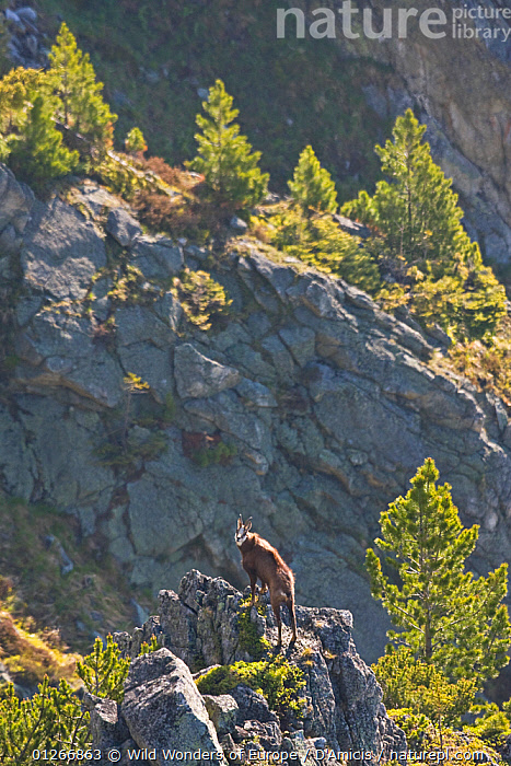 Male Tatra chamois (Rupicapra rupicapra tatrica) on rocky ridge near Arolla pines (Pinus cembra) Western Tatras, Carpathian Mountains, Slovakia, June 2009  ,  ARTIODACTYLA,BOVIDS,BRUNO D'AMICIS,CONIFERS,EASTERN EUROPE,EUROPE,GOATS,GYMNOSPERMS,HABITAT,LANDSCAPES,MAMMALS,PINACEAE,PINES,PLANTS,ROCKS,SLOVAKIA,VERTEBRATES,VERTICAL,WWE  ,  Wild Wonders of Europe / D'Amicis