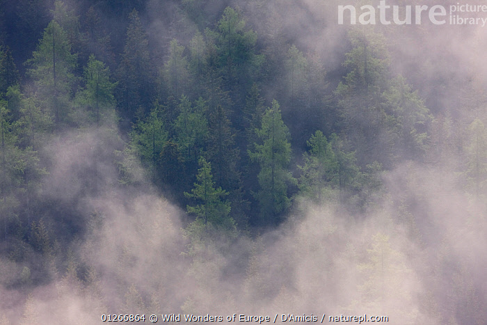 Clouds above old Norway spruce (Picea abies) and Larch (Larix decidua) forest, High Tatras, Carpathian Mountains, Slovakia, June 2009  ,  BRUNO D'AMICIS,CLOUDS,CONIFERS,EASTERN EUROPE,EUROPE,GYMNOSPERMS,HIGH ANGLE SHOT,LANDSCAPES,MIST,PINACEAE,PINES,PLANTS,SLOVAKIA,TAXACEAE,TREES,WWE,Weather  ,  Wild Wonders of Europe / D'Amicis