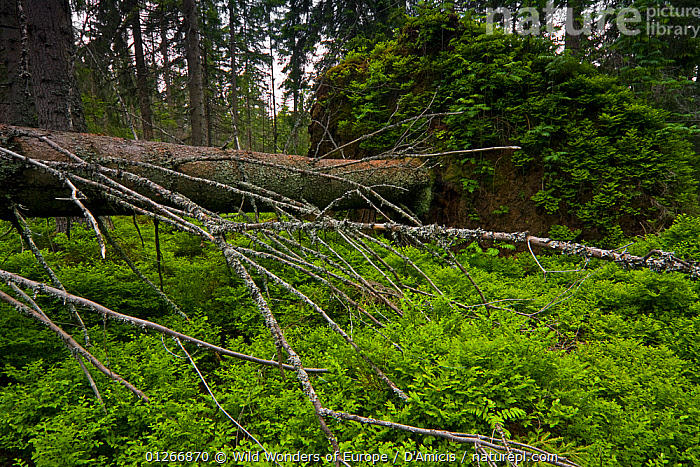 Large dead Spruce (Picea abies) with Mountain ash  / Rowan (Sorbus aucuparia) and Bilberry (Vaccinium myrtillus) growing on its exposed root plate, Western Tatras, Carpathian Mountains, Slovakia, June 2009  ,  BLAEBERRY,BRUNO D'AMICIS,CONIFERS,DEATH,DICOTYLEDONS,EASTERN EUROPE,ERICACEAE,EUROPE,FORESTS,GYMNOSPERMS,LANDSCAPES,PINACEAE,PINES,PLANTS,SLOVAKIA,TREES,TRUNKS,WHORTLEBERRY,WWE  ,  Wild Wonders of Europe / D'Amicis