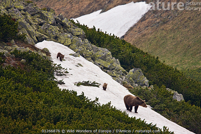 Female European brown bear (Ursus arctos) with two yearling cubs walking on snow field on mountain ridge, Western Tatras, Carpathian Mountains, Slovakia, June 2009  ,  BABIES,BEARS,BRUNO D'AMICIS,CARNIVORES,CUBS,CUTE,EASTERN EUROPE,EUROPE,FAMILIES,JUVENILE,LANDSCAPES,MAMMALS,SLOVAKIA,SNOW,VERTEBRATES,WWE  ,  Wild Wonders of Europe / D'Amicis