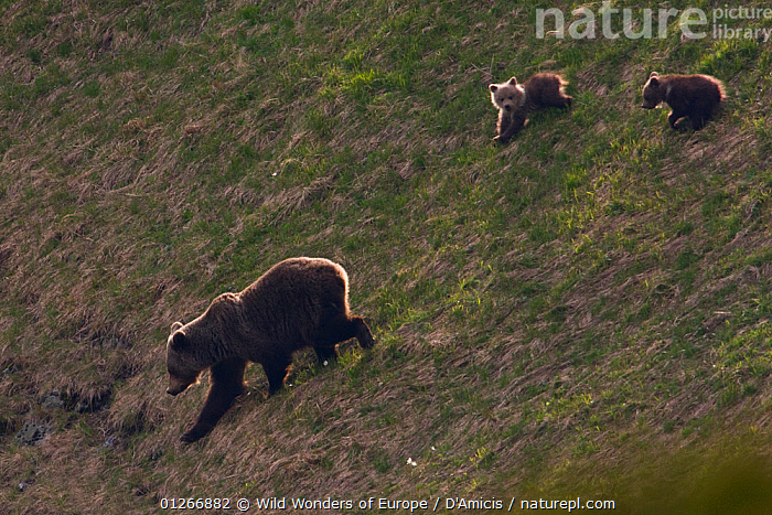 Female European brown bear (Ursus arctos) with two yearling cubs walking down steep slope, Western Tatras, Carpathian Mountains, Slovakia, June 2009  ,  BABIES,BEARS,BRUNO D'AMICIS,CARNIVORES,CUBS,CUTE,EASTERN EUROPE,EUROPE,FAMILIES,JUVENILE,MAMMALS,SLOVAKIA,VERTEBRATES,WWE  ,  Wild Wonders of Europe / D'Amicis