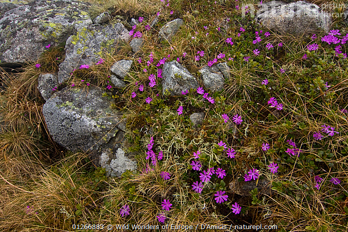 Least primrose (Primula minima) flowers, Western Tatras, Carpathian Mountains, Slovakia, June 2009  ,  BRUNO D'AMICIS,DICOTYLEDONS,EASTERN EUROPE,EUROPE,FLOWERS,PLANTS,PRIMULACEAE,ROCKS,SLOVAKIA,WWE  ,  Wild Wonders of Europe / D'Amicis