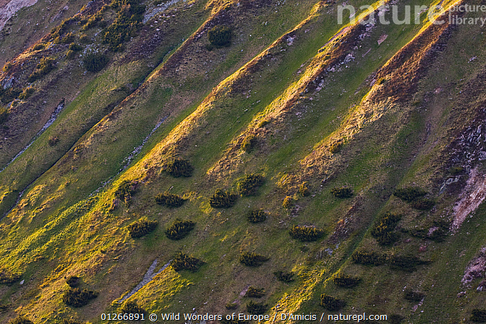 Steep mountain slope with fresh grass and scattered Dwarf mountain pine (Pinus mugo) trees, Western Tatras, Carpathian Mountains, Slovakia, June 2009  ,  BRUNO D'AMICIS,CONIFERS,EASTERN EUROPE,EUROPE,GYMNOSPERMS,HIGH ANGLE SHOT,LANDSCAPES,PINACEAE,PINES,PLANTS,SLOVAKIA,TREES,WWE  ,  Wild Wonders of Europe / D'Amicis