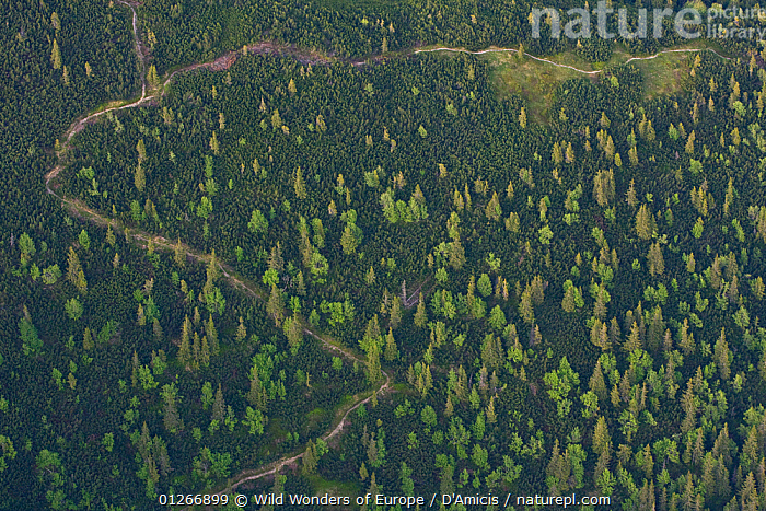 Aerial view of path in mountain forest of Norway spruce (Picea abies) Mountain ash / Rowan (Sorbus aucuparia) and the Dwarf mountain pine (Pinus mugo) zone, Western Tatras, Carpathian Mountains, Slovakia, June 2009  ,  AERIALS,BRUNO D'AMICIS,CONIFERS,DICOTYLEDONS,EASTERN EUROPE,EUROPE,FORETS,GYMNOSPERMS,LANDSCAPES,PINACEAE,PINES,PLANTS,ROSACEAE,SLOVAKIA,TREES,WWE  ,  Wild Wonders of Europe / D'Amicis