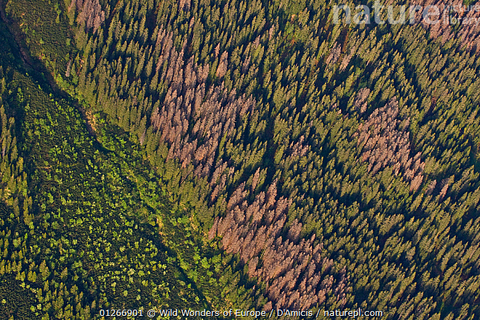 Aerial view of border between spruce forest and Dwarf mountain pine (Pinus mugo) zones showing several trees killed by Bark beetle (Scolytidae) Western Tatras, Carpathian Mountains, Slovakia, June 2009  ,  AERIALS,BARK BEETLES,BRUNO D'AMICIS,CONIFERS,DEATH,DICOTYLEDONS,EASTERN EUROPE,EUROPE,FORESTS,GREEN,GYMNOSPERMS,LANDSCAPES,PESTS,PINACEAE,PINES,PLANTS,ROSACEAE,SLOVAKIA,TREES,WWE  ,  Wild Wonders of Europe / D'Amicis