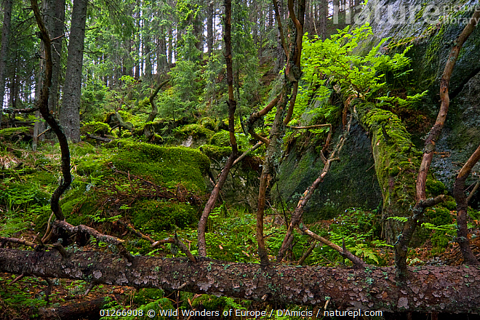 Fallen trees and mosses in the undergrowth of a pristine forest, Kouprova valley, Western Tatras, Carpathian Mountains, Slovakia, June 2009  ,  BRUNO D'AMICIS,EASTERN EUROPE,EUROPE,FORESTS,LANDSCAPES,MOSS,SLOVAKIA,TREES,WOODLANDS,WWE,PLANTS  ,  Wild Wonders of Europe / D'Amicis