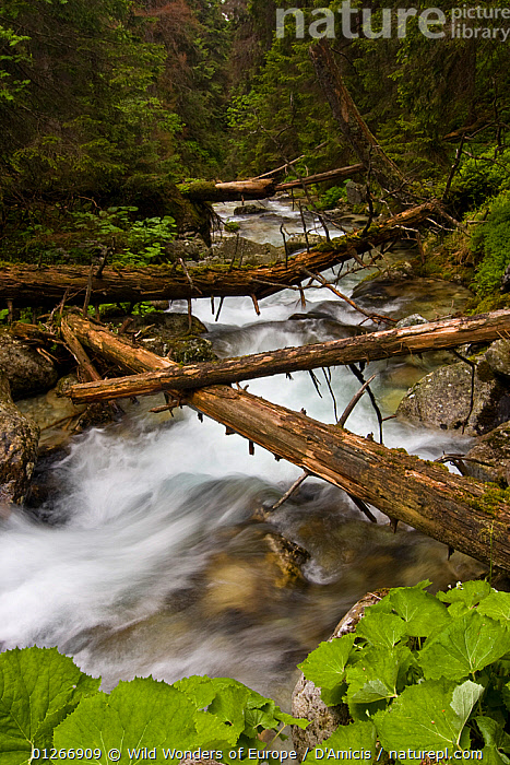Mountain stream with fallen trees crossing pristine forest, Kouprova valley, Western Tatras, Carpathian Mountains, Slovakia, June 2009  ,  BRUNO D'AMICIS,EASTERN EUROPE,EUROPE,LANDSCAPES,SLOVAKIA,STREAMS,TREES,TRUNKS,VERTICAL,WWE,PLANTS  ,  Wild Wonders of Europe / D'Amicis