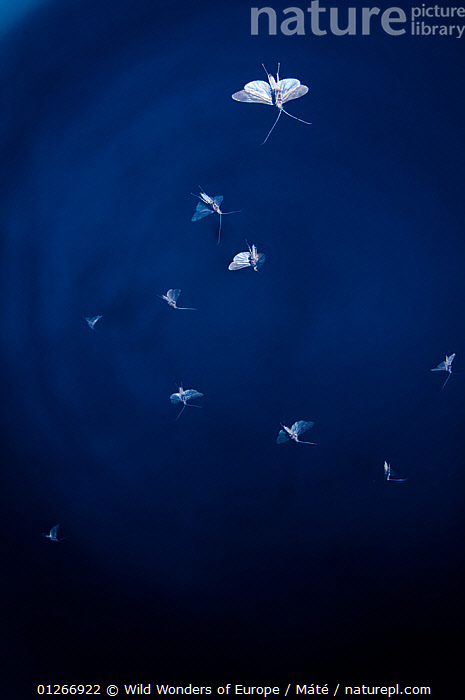 Insects in flight at dusk over the Prypiat river, Belarus, June 2009  ,  BELARUS,EUROPE,FLYING,GROUPS,INSECTS,INVERTEBRATES,PRIPYAT,VERTICAL,WWE , Bence M�t�  ,  Wild Wonders of Europe / Máté