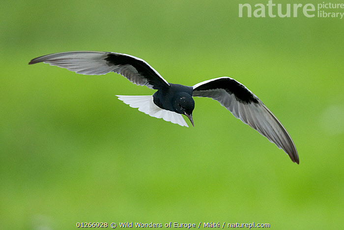 White-winged black tern (Chlidonias leucopterus) in flight, Prypiat river, Belarus, June 2009  ,  BELARUS,BIRDS,CUTOUT,EUROPE,FLYING,PRIPYAT,SEABIRDS,TERNS,VERTEBRATES,WWE , Bence M�t�  ,  Wild Wonders of Europe / Máté
