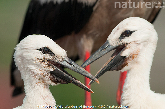Two White stork (Ciconia ciconia) chicks, Prypiat area, Turov, Belarus, June 2009  ,  BABIES,BELARUS,BIRDS,CHICKS,EUROPE,INTERACTION,PRIPYAT,PROFILE,STORKS,VERTEBRATES,WWE , Bence M�t�  ,  Wild Wonders of Europe / Máté