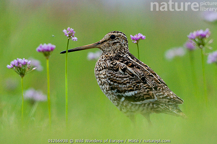 Great snipe (Gallinago media) near the Prypiat river, Belarus, June 2009  ,  ARTY SHOTS,BELARUS,BIRDS,EUROPE,FLOWERS,PORTRAITS,PRIPYAT,SNIPE,VERTEBRATES,WADERS,WWE , Bence M�t�  ,  Wild Wonders of Europe / Máté