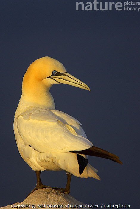Northern gannet (Morus bassanus) standing on rock, Saltee Islands, Ireland, May 2008  ,  bassana, BIRDS, CUTOUT, Danny-Green, EUROPE, GANNETS, IRELAND, PORTRAITS, ROCKS, SEABIRDS, VERTEBRATES, VERTICAL, WWE  ,  Wild Wonders of Europe / Green