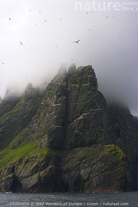 Northern gannet (Morus bassanus) colony with low clouds over cliff top, St Kilda, Scotland, May 2009, bassana, BIRDS, CLIFFS, CLOUDS, COASTS, colonies, Danny-Green, EUROPE, FLYING, GANNETS, GROUPS, LANDSCAPES, MIST, SEABIRDS, UK, VERTEBRATES, VERTICAL, WWE,Geology,Weather,United Kingdom , Outer Hebrides,SCOTLAND, Wild Wonders of Europe / Green