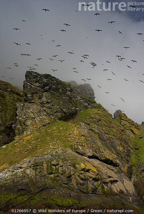 Northern gannets (Morus bassanus) in flight over cliffs, St Kilda, Scotland, May 2009  ,  bassana, BIRDS, CLIFFS, CLOUDS, COASTS, Danny-Green, EUROPE, FLYING, GANNETS, GROUPS, LOW-ANGLE-SHOT, SEABIRDS, UK, VERTEBRATES, VERTICAL, WWE,Geology,Weather,United Kingdom , Outer Hebrides,SCOTLAND  ,  Wild Wonders of Europe / Green