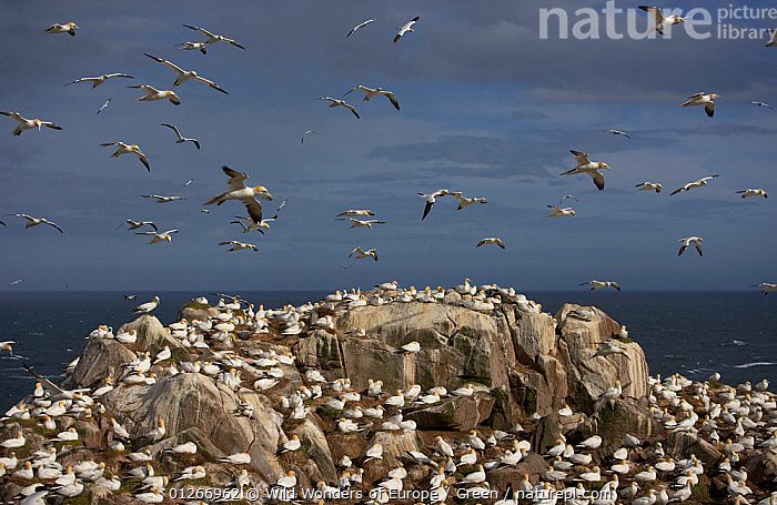 Northern gannet (Morus bassanus) colony, Saltee Islands, Ireland, June 2009  ,  bassana, BIRDS, CLIFFS, COASTS, Danny-Green, EUROPE, FLYING, GANNETS, GROUPS, IRELAND, ROCKS, SEABIRDS, VERTEBRATES, WWE,Geology  ,  Wild Wonders of Europe / Green