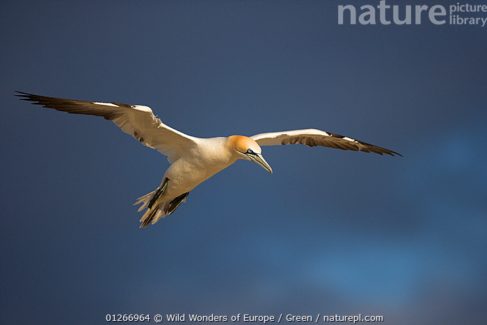 Northern gannet (Morus bassanus) in flight, Saltee Islands, Ireland, June 2009  ,  bassana, BIRDS, CUTOUT, Danny-Green, EUROPE, FLYING, GANNETS, IRELAND, SEABIRDS, VERTEBRATES, WWE  ,  Wild Wonders of Europe / Green