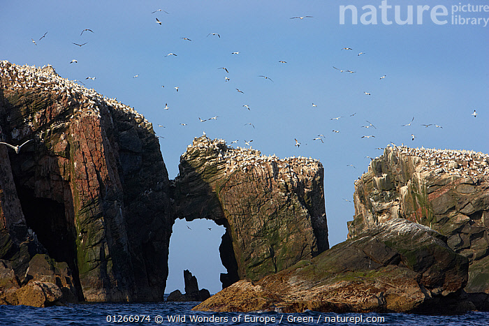 Northern gannet (Morus bassanus) colony, The Flannans, Outer Hebrides, Scotland, July 2009  ,  bassana, BIRDS, COASTS, colonies, Danny-Green, EUROPE, GANNETS, GEOLOGY, GROUPS, LANDSCAPES, ROCK-FORMATIONS, SEABIRDS, UK, VERTEBRATES, WWE,SCOTLAND,United Kingdom  ,  Wild Wonders of Europe / Green
