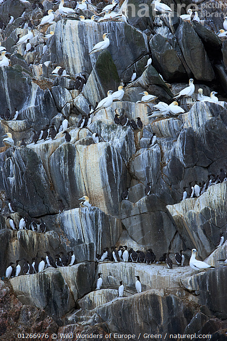 Northern gannets (Morus bassanus) and Common guillemots (Uria aalge) on rock face, The Flannans, Outer Hebrides, Scotland, July 2009  ,  AUKS, bassana, BIRDS, CLIFFS, colonies, Danny-Green, EUROPE, GANNETS, GROUPS, MIXED-SPECIES, murre, ROCKS, SEABIRDS, UK, VERTEBRATES, VERTICAL, WWE,Geology,United Kingdom  ,  Wild Wonders of Europe / Green