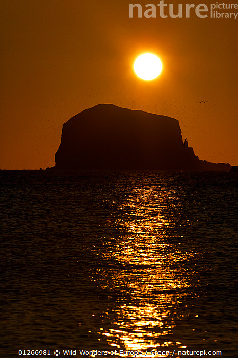 Northern gannet (Morus bassanus) colony in flight over Bass Rock at sunrise, Firth of Forth, Scotland, August 2009  ,  bassana, BIRDS, COASTS, Danny-Green, EUROPE, FLYING, GANNETS, groupd, LANDSCAPES, LIGHTHOUSES, ORANGE, relefections, SEABIRDS, SILHOUETTES, SUNRISE, UK, VERTEBRATES, VERTICAL, WWE,BUILDINGS ,United Kingdom  ,  Wild Wonders of Europe / Green