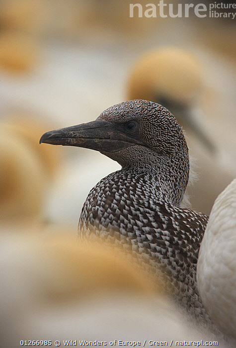 Northern gannet (Morus bassanus) fledgling, Bass Rock, Firth of Forth, Scotland, August 2009  ,  BABIES, bassana, BIRDS, Danny-Green, EUROPE, GANNETS, JUVENILE, PORTRAITS, SEABIRDS, UK, VERTEBRATES, VERTICAL, WWE,United Kingdom  ,  Wild Wonders of Europe / Green
