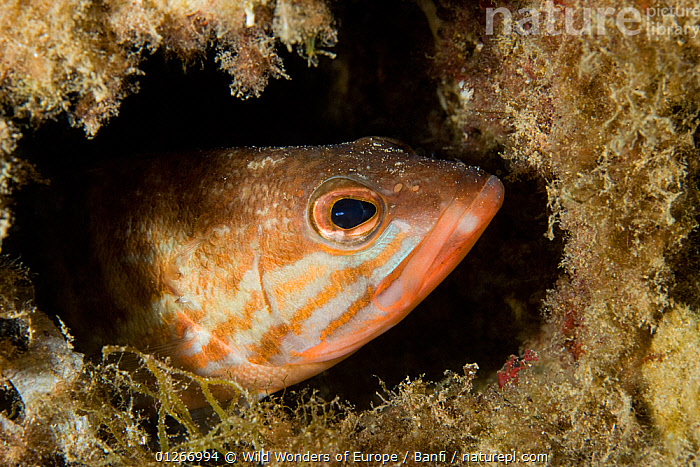 Comber (Serranus cabrilla) looking out of hole, Larvotto Marine Reserve, Monaco, Mediterranean Sea, July 2009  ,  BASS,EUROPE,FISH,FRANCO BANFI,HEADS,HOMES,MARINE,MEDITERRANEAN,MONACO ,OSTEICHTHYES,RESERVE,TEMPERATE,UNDERWATER,VERTEBRATES,WWE  ,  Wild Wonders of Europe / Banfi