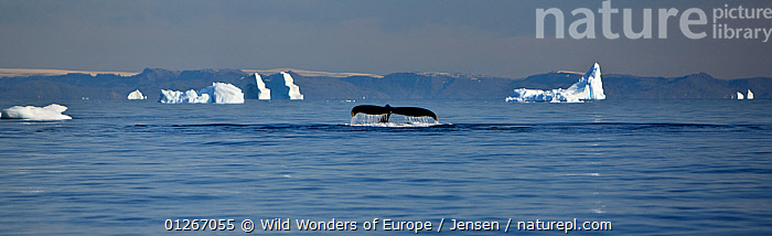 Tail fluke of a diving Humpback whale (Megaptera novaeangliae) Disko Bay, Greenland, August 2009  ,  ARCTIC,ATLANTIC,CETACEANS,COASTS,COLD,DISCOBAY,EUROPE,FLUKES,GREENLAND,ICEBERGS,KAI JENSEN,LANDSCAPES,MAMMALS,MARINE,PANORAMIC,SURFACE,TAILS,VERTEBRATES,WHALES,WWE  ,  Wild Wonders of Europe / Jensen