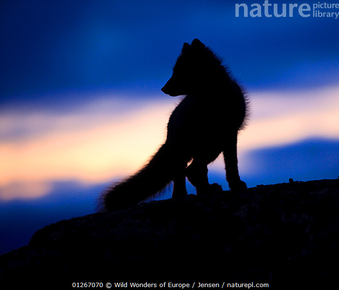 Arctic fox (Vulpes lagopus) silhouetted at twilight, Greenland, August 2009  ,  ARCTIC,BLUE,CANIDS,CARNIVORES,DAWN,DUSK,EUROPE,FOXES,GREENLAND,KAI JENSEN,LANDSCAPES,MAMMALS,SILHOUETTES,VERTEBRATES,WWE,Dogs  ,  Wild Wonders of Europe / Jensen