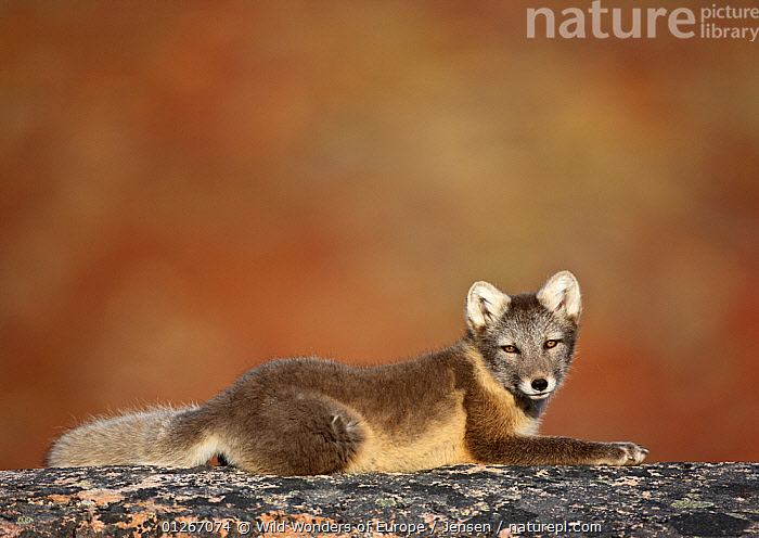 Arctic fox (Vulpes lagopus) lying on rock, Disko Bay, Greenland, August 2009  ,  ARCTIC,CANIDS,CARNIVORES,DISCOBAY,EUROPE,FLUFFY,FOXES,GREENLAND,KAI JENSEN,LANDSCAPES,MAMMALS,VERTEBRATES,WWE,Dogs  ,  Wild Wonders of Europe / Jensen