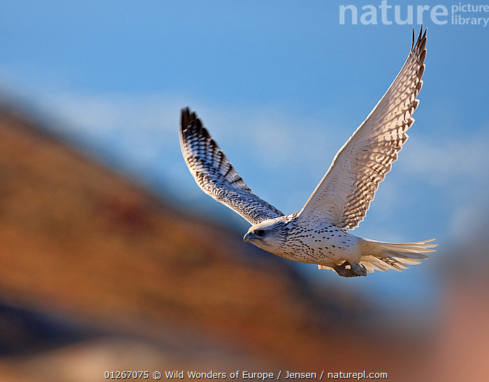 Gyrfalcon (Falco rusticolus) in flight, Disko Bay, Greenland, August 2009  ,  ARCTIC,BIRDS,BIRDS OF PREY,DISCOBAY,EUROPE,FALCONS,FLYING,GREENLAND,KAI JENSEN,LANDSCAPES,VERTEBRATES,WINGS,WWE  ,  Wild Wonders of Europe / Jensen