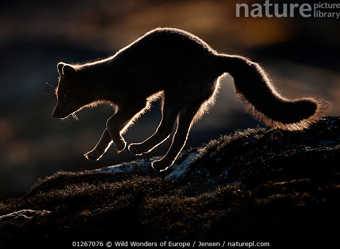 Arctic fox (Vulpes lagopus) silhouetted while jumping, Disko Bay, Greenland, August 2009  ,  ACTION,ARCTIC,BEHAVIOUR,CANIDS,CARNIVORES,DISCOBAY,EUROPE,FOXES,GREENLAND,JUMPING,KAI JENSEN,LANDSCAPES,MAMMALS,SILHOUETTES,VERTEBRATES,WWE,Dogs  ,  Wild Wonders of Europe / Jensen