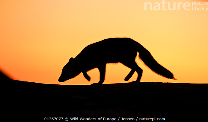 Arctic fox (Vulpes lagopus) silhouetted at sunset, Greenland, August 2009  ,  ARCTIC,CANIDS,CARNIVORES,EUROPE,FOXES,GREENLAND,KAI JENSEN,LANDSCAPES,MAMMALS,ORANGE,PROFILE,SILHOUETTES,SUNSET,VERTEBRATES,WWE,Dogs  ,  Wild Wonders of Europe / Jensen