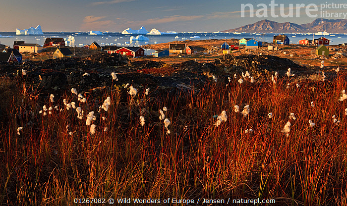 Cotton grass (Eriophorum sp) near coastal settlement, Saqqaq, Greenland, August 2009  ,  ARCTIC,BUILDINGS,COASTS,CYPERACEAE,EUROPE,GREENLAND,HOUSES,ICEBERGS,KAI JENSEN,LANDSCAPES,MONOCOTYLEDONS,PLANTS,SEDGE,SEEDS,WWE  ,  Wild Wonders of Europe / Jensen