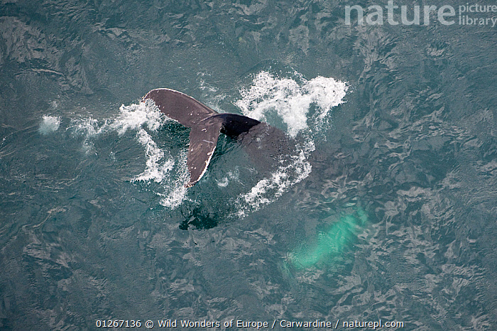 Aerial view of Humpback whale (Megaptera novaeangliae) fluking, Skjalfandi Bay, Northern Iceland, July 2009  ,  AERIALS,ARCTIC,ATLANTIC,BEHAVIOUR,CETACEANS,COLD,DIVING,EUROPE,FLUKES,ICELAND,MAMMALS,MARINE,MARK CARWARDINE,SURFACE,TAILS,VERTEBRATES,WHALES,WWE  ,  Wild Wonders of Europe / Carwardine