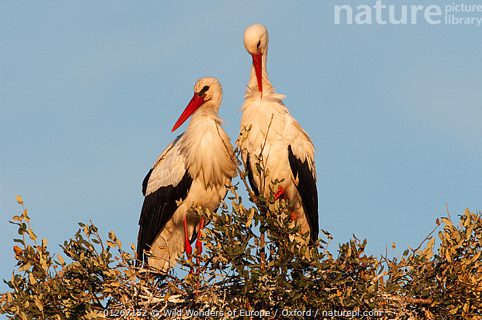 White stork (Ciconia ciconia) pair on nest, wetland reserve, Do�ana National & Natural Park, Huelva Province, Andalusia, Spain, May 2009  ,  BIRDS,EUROPE,MALE FEMALE PAIR,NESTS,NP,PETE OXFORD,RESERVE,SPAIN,STORK,STORKS,VERTEBRATES,WWE,National Park  ,  Wild Wonders of Europe / Oxford