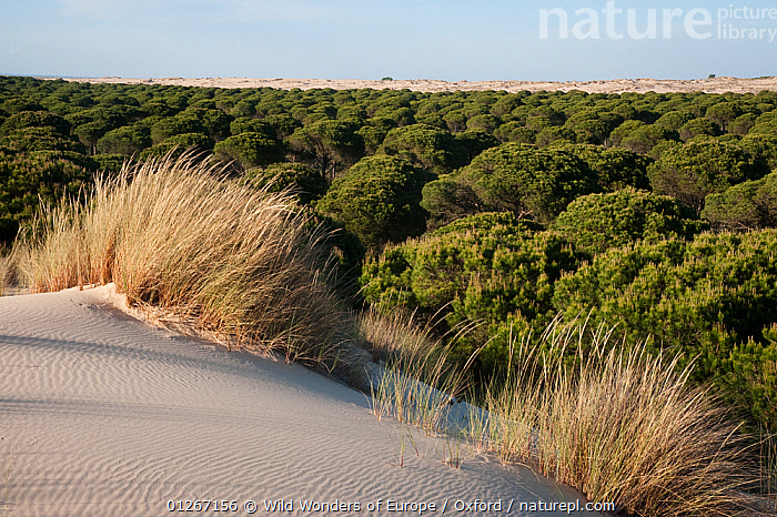 Sand dunes encroaching on Pine trees (Pinus sp) with Marram grass (Ammophila arenaria) growing n dunes, Do�ana National & Natural Park, Huelva Province, Andalusia, Spain, May 2009  ,  CONIFERS,EUROPE,GRAMINEAE,GRASSES,GYMNOSPERMS,LANDSCAPES,MONOCOTYLEDONS,NP,PETE OXFORD,PINACEAE,PINES,PLANTS,POACEAE,RESERVE,SAND DUNES,SPAIN,TREES,WWE,National Park  ,  Wild Wonders of Europe / Oxford