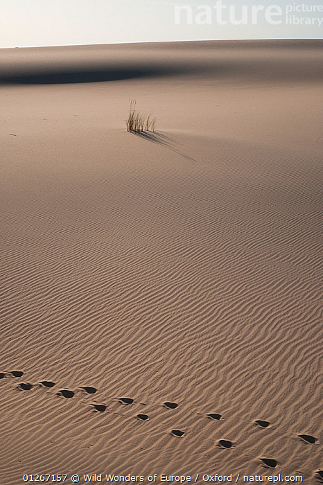 Red deer (Cervus elaphus) tracks and Marram Grass (Ammophila arenaria) in sand dunes, Do�ana National & Natural Park, Huelva Province, Andalusia, Spain, May 2009  ,  ARTIODACTYLA,CERVIDS,DEER,EUROPE,GRAMINEAE,GRASSES,LANDSCAPES,MAMMALS,MONOCOTYLEDONS,NP,PETE OXFORD,PLANTS,POACEAE,RESERVE,RIPPLES,SAND DUNES,SPAIN,TRACKS,VERTEBRATES,VERTICAL,WWE,National Park  ,  Wild Wonders of Europe / Oxford