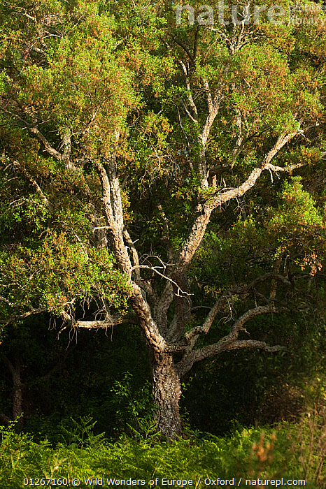 Cork oak tree (Quercus suber) Do�ana National & Natural Park, Huelva Province, Andalusia, Spain, May 2009  ,  DICOTYLEDONS,EUROPE,FAGACEAE,NP,PETE OXFORD,PLANTS,RESERVE,SPAIN,TREES,VERTICAL,WWE,National Park  ,  Wild Wonders of Europe / Oxford
