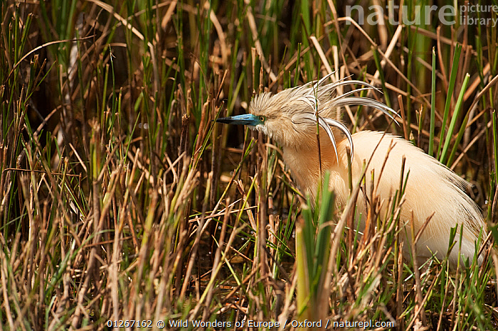 Squacco heron (Ardeola ralloides) in undergrowth, wetland reserve, Do�ana National & Natural Park, Huelva Province, Andalusia, Spain, May 2009  ,  BIRDS,EUROPE,HERONS,NP,PETE OXFORD,RESERVE,SPAIN,VERTEBRATES,WETLANDS,WWE,National Park  ,  Wild Wonders of Europe / Oxford