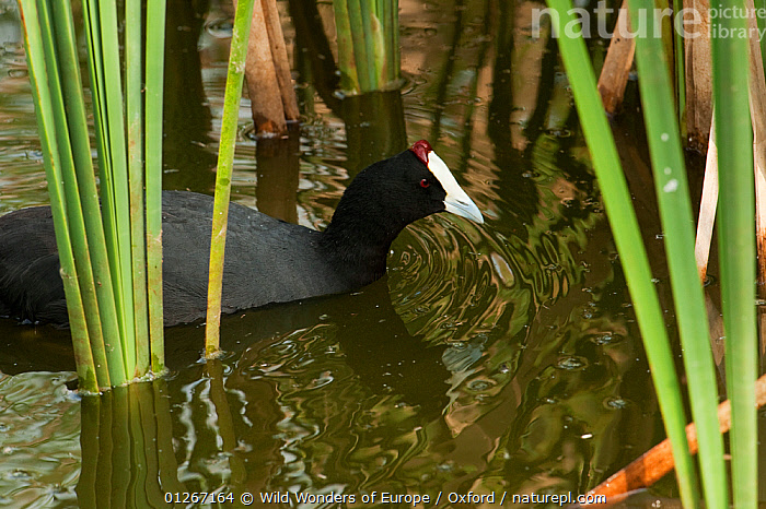 Red-knobbed / Crested coot (Fulica cristata) captive, Ca�ada de los P�jaros Reserve where they have a breeding program, Huelva Province, Andalusia, Spain, May 2009  ,  BIRDS,COOTS,EUROPE,PETE OXFORD,PLANTS,REFLECTIONS,SPAIN,VERTEBRATES,WATER,WATERFOWL,WWE  ,  Wild Wonders of Europe / Oxford