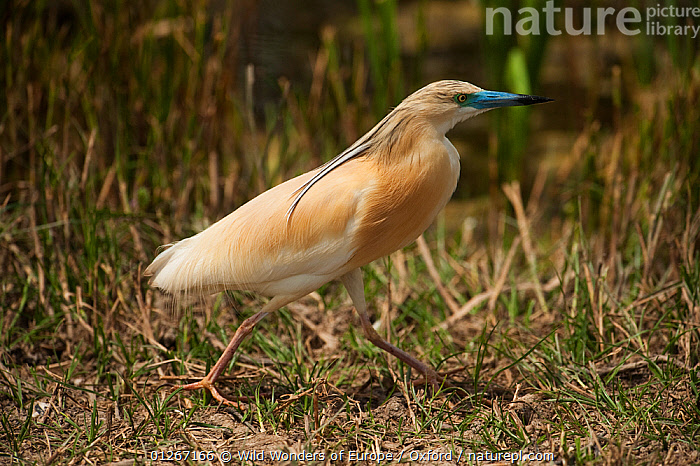 Squacco Heron (Ardeola ralloides) walking, wetland reserve, Do�ana National & Natural Park, Huelva Province, Andalusia, Spain, May 2009  ,  BIRDS,EUROPE,HERONS,NP,PETE OXFORD,PROFILE,RESERVE,SPAIN,VERTEBRATES,WALKING,WWE,National Park  ,  Wild Wonders of Europe / Oxford