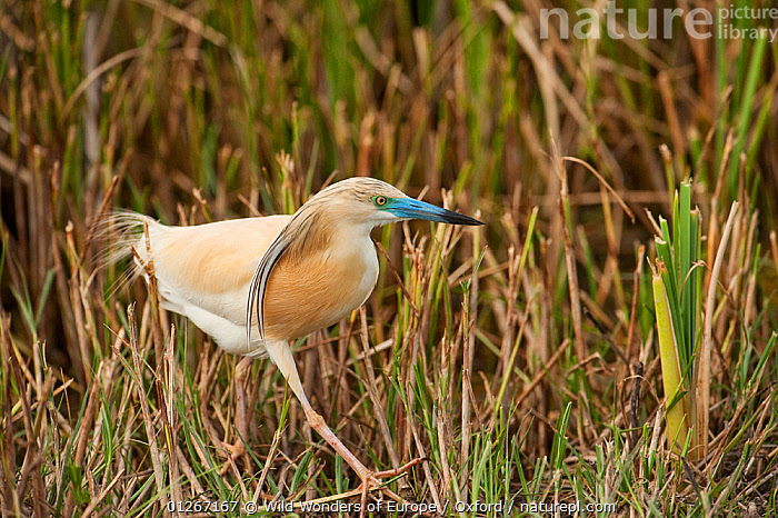 Squacco heron (Ardeola ralloides) walking, wetland reserve, Do�ana National & Natural Park, Huelva Province, Andalusia, Spain, May 2009  ,  EUROPE,NP,PETE OXFORD,RESERVE,SPAIN,WALKING,WETLANDS,WWE,National Park  ,  Wild Wonders of Europe / Oxford